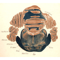 Watercolour of brain section